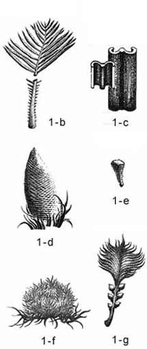 鳞片状的小孢子叶
